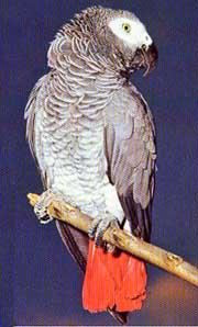 papagaio_cinza