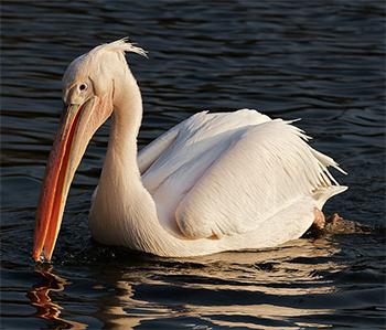 O Pelicano Distribuidora Pelicano Branco - Sa&#...