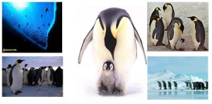 pinguim_imperador