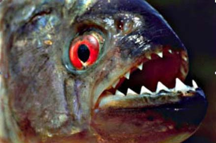 piranha01