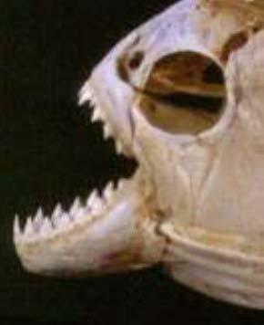 piranha06
