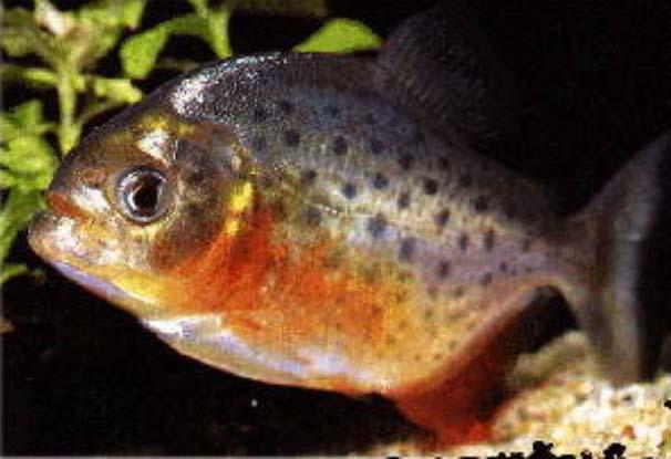 piranha08