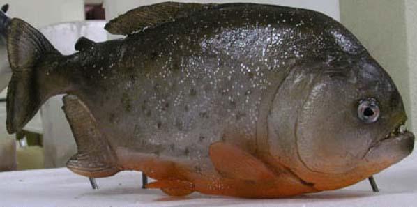 piranha09