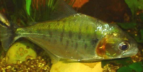 piranha10