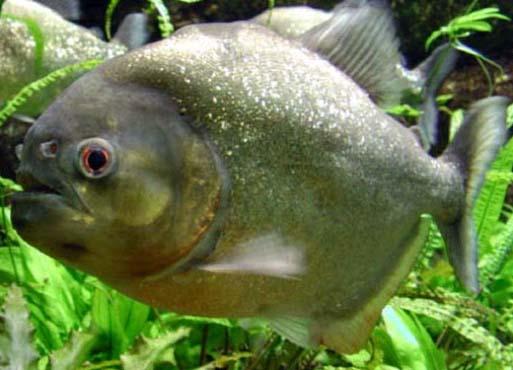 piranha11