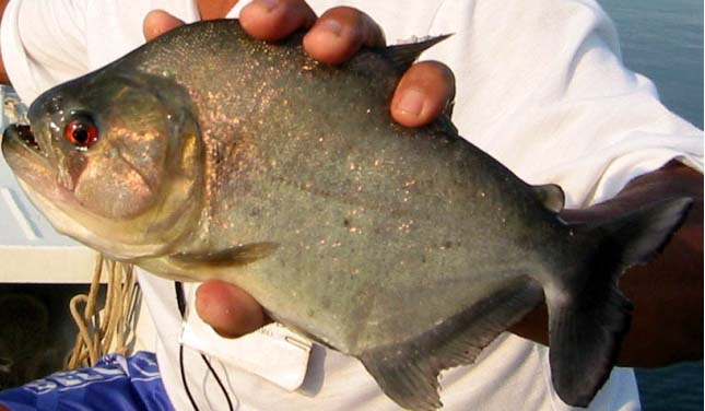 piranha12
