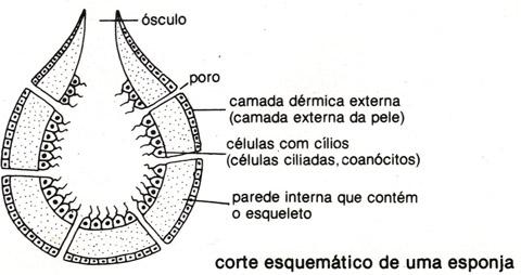 porifero