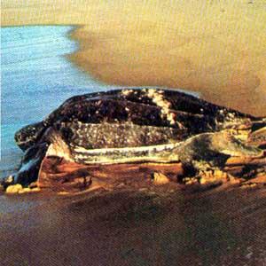 tartaruga_marinha2