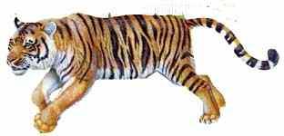tigre-da-siberia