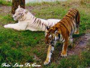 tigre9