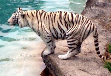tigre_branco