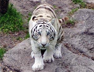tigre_branco2