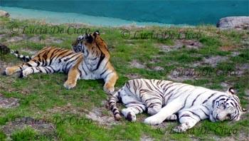 tigre_branco3