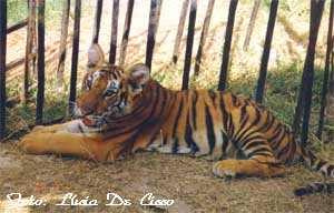 tigre_filhote