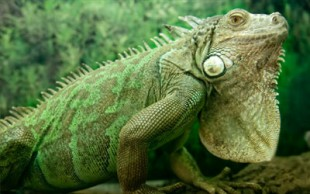 destaque_iguana
