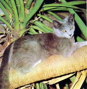 gato_azul