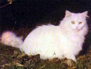 gato_persa_branco