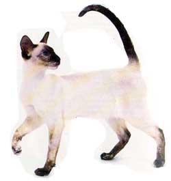 gato_siames2