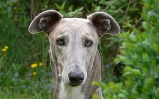 _greyhound