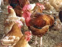 gripe_aviaria