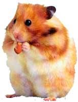 hamster_comendo