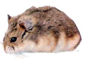 hamster_djungarian