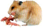 hamster_filhotes