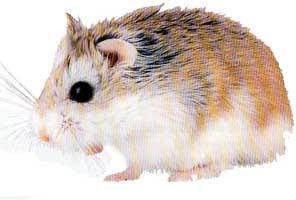 hamster_ronborovsky