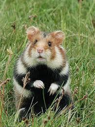 hamster_selvagem
