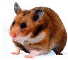 hamster_sirio