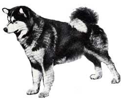 malamute3