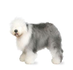 old-english-sheepdog