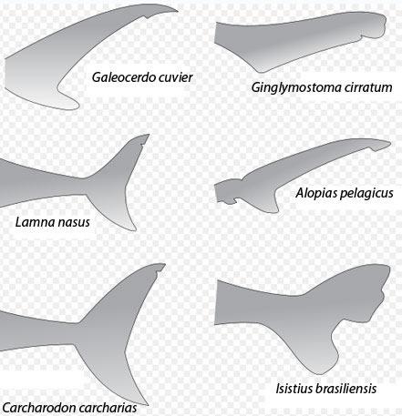 sharktail