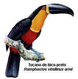 tucano_bico_preto_3