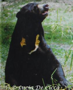 urso_malaio5