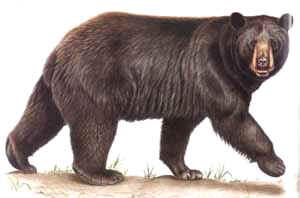 urso_preto