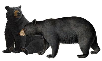 urso_preto4