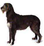 wolfhound2