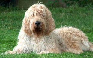 destaque_otterhound