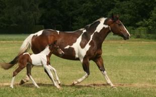 destaque_paint_horse