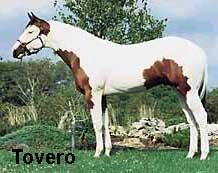 paint_horse_tovero
