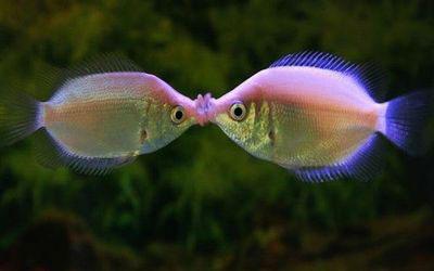 destaque_beijador