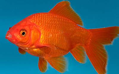 destaque_goldfish