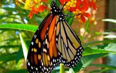 As borboletas monarcas são os únicos insetos a fazer uma migração tão longa
