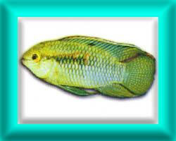 peixe15