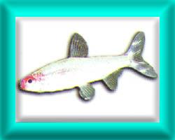 peixe16
