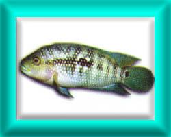 peixe31