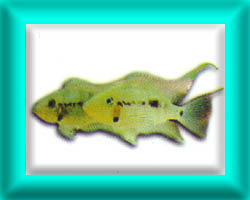 peixe32