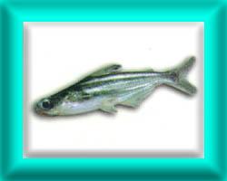 peixe35