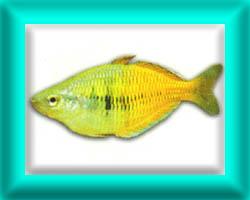 peixe36